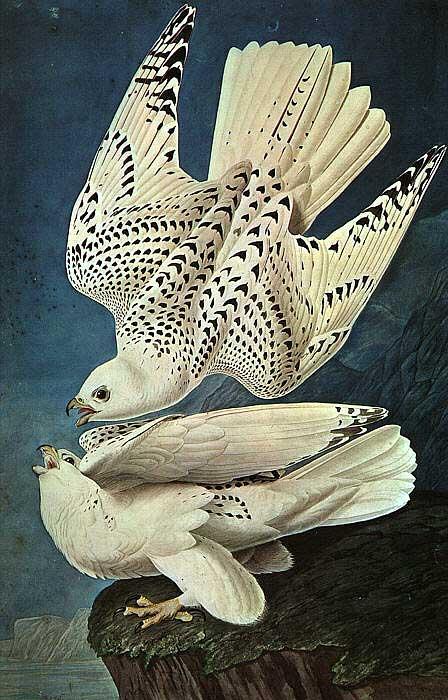 audubon_falcon_big