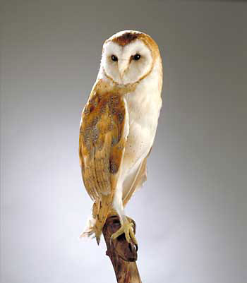 browning-barn-owl_big