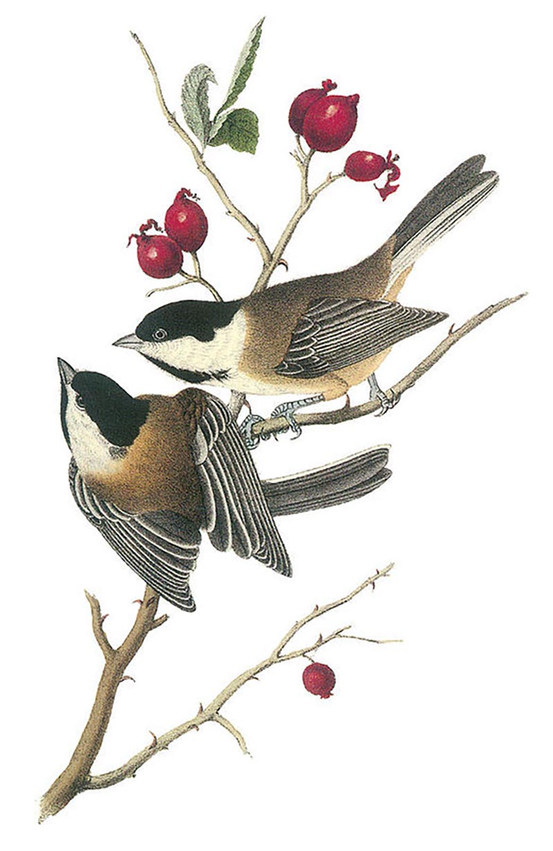 john-james-audubon_black-capped-chickadee