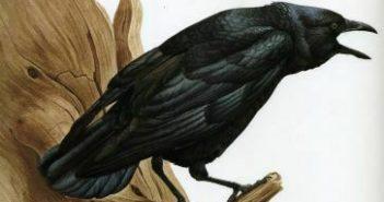 Common Crow watercolour on paper by J. Fenwick Lansdowne (1937-2008)