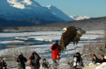 An adult Bald Eagle that has been restored to health by the Juneau Alaska Raptor Rehabilitation Center is released on the Chilkat River, Haines, Alaska.