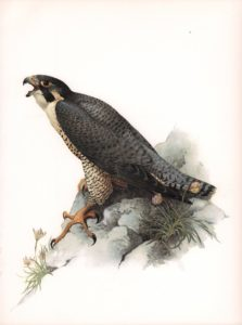 Peregrine Falcon Watercolour on paper by James Fenwick Lansdowne