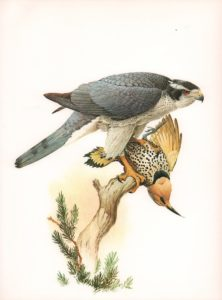 Goshawk Watercolour on paper by James Fenwick Lansdowne (1937-2008)