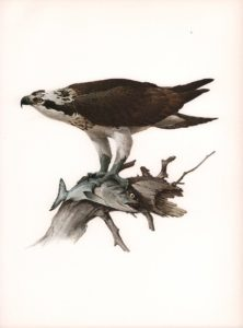 Osprey Watercolour on paper by James Fenwick Lansdowne