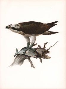 Osprey Watercolour on paper by James Fenwick Lansdowne