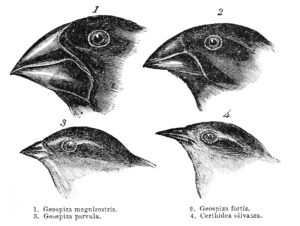 Darwin's Finches: Large ground finch, Medium ground finch Small tree finch, Green warbler-finch by John Gould (1804-1881)