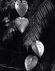 Plants and Leaves, Hawaii, c. 1985. Gelatin silver print 34.9 x 26.8 cm by Brett Weston (1911 -1993)