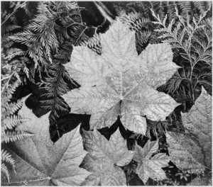 Close-up of leaves In Glacier National Park, 1942 Photograph by Ansel Adams (1902-1984)