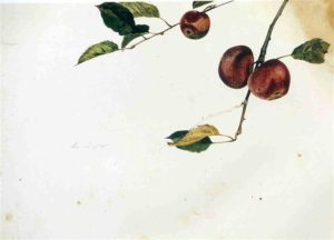 Apples on a Bough, Study Before Picking, 1942 by Andrew Wyeth